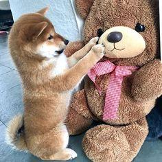 hi friend, you look a bit like me, do you want to play? +=❤️ . . . #shibaumka #proudshibas #shibainu #shibapuppy #shibainupuppy #shiba #doge #puppylove #shibastagram #shibasofinstagram #shibamania ##шибаину #шиба #сиба #сибаину #щенок #shiba_snap #remingtonandcomodelsearch #thkweeklypet #Regram via @shiba.umka