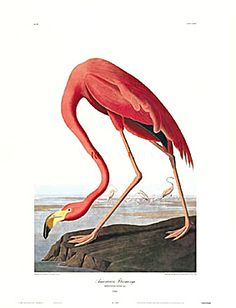 'American Flamingo' giclee print by James Audubon via Charting Nature