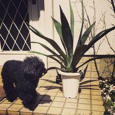 リュウゼツランを食べるんじゃないよっ  #リュウゼツラン #竜舌蘭 #アオノリュウゼツラン #アガベ #アロエ #agave #americanaaloe #テキーラ #tequila #トイプードル #toypoodle #toypoodles #dog #犬 #いぬ by yoyo__hey March 18 2016 at 11:38PM