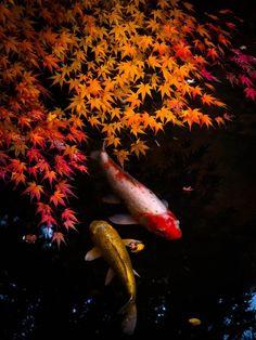 Nanzen-ji Templ ,Kyoto,Japan ,Japanese carps :Koi 鯉 Koi Fish Pond, Fish Ponds, Fish Fish, Beautiful Fish, Beautiful World, Koi Art, Japan Garden, Kyoto Japan, Japan Japan