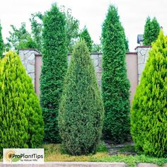 Plant trees and shrubs for privacy and to muffle sounds. Shrubs For Privacy, Privacy Landscaping, Landscaping Supplies, Home Landscaping, Front Yard Landscaping, Landscaping Borders, Planting For Privacy, Landscaping With Trees, Backyard Landscaping Privacy