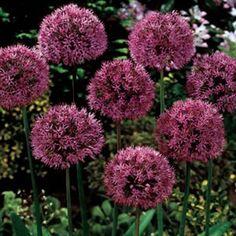 Allium Purple Sensation   K. $10.88/25