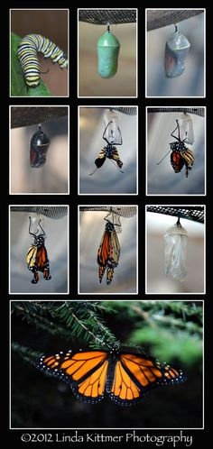 Metamorphosis of a Monarch Butterfly Artwork, Butterfly Drawing, Butterfly Species, Monarch Butterfly, Montessori, Butterfly Metamorphosis, Butterfly Life Cycle, Flashcard, Butterfly Kisses