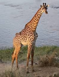 The giraffe's heart must pump blood feet m) straight up in order to provide an ample blood supply to its brain Giraffe Heart, Giraffe Pictures, Okapi, Animal Magic, Large Animals, Body Shapes, Mammals, Habitats, Pets
