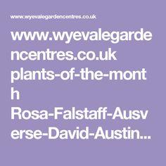 www.wyevalegardencentres.co.uk plants-of-the-month Rosa-Falstaff-Ausverse-David-Austin-Rose B2