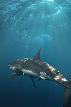 madishy:  great white shark by Vitaliy Sokol
