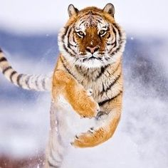 magnificent physicality of a tiger charging