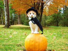 Disfraces de Halloween para gatos - Galería de imágenes - ExpertoAnimal