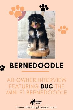 Looking for a Bernedoodle review? Look no further! In this exclusive owner interview, Melissa shares everything about her sweet Mini F1 Bernedoodle pup, Duc.