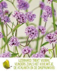 Top 10 vlinderplanten voor een vlindertuin - Intratuin