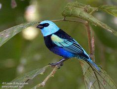 Saíra-de-cabeça-azul (Tangara cyanicollis)