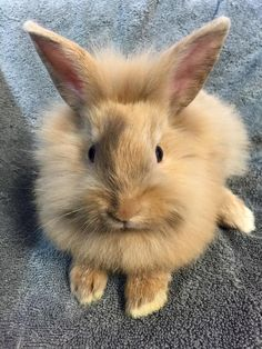 How fluffy can a bunny be? Too cute!