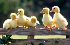 No ugly ducklings here just extremely cute bundles of yellow fluff