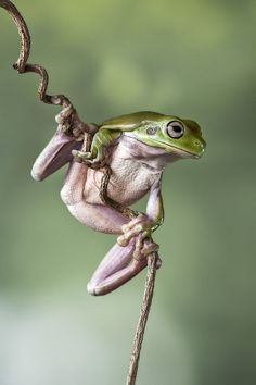Hang in there by Lessy Sebastian Funny Frogs, Cute Frogs, Animal Pictures, Cute Pictures, Animals Beautiful, Cute Animals, Whites Tree Frog, Amazing Frog, Funny Rabbit