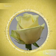 Meet Takini from our yellow category, its pale yellow matches perfectly with other roses and foliage arrangements. Visit us: www. Organic Roses, Meet, Fruit, Yellow, Food, The Fruit, Meals, Yemek, Eten