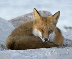 Red Fox by Bonnie DeLap