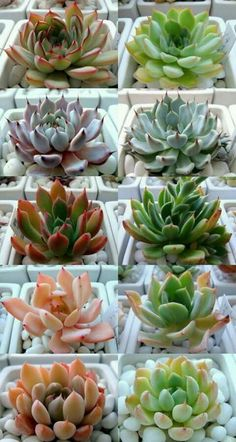 Beautifully colored succulents.