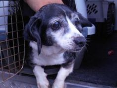 MANDY is at a HEART STICK shelter.  PLEASE SHARE, SHARE!  MANDY is an adoptable Beagle Dog in Buckhannon, WV. For more information on one of our pets please call 304-472-3865, we will gladly answer any of your questions. All of our puppies/dogs receive a DHP...