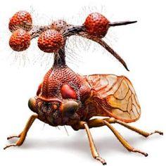 This is the Brazilian Treehopper (Bocydium globulare)