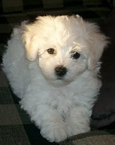 Bichon Frise Dogs -  good apartment dog with no barking, well hardly