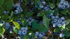 Как ухаживать за голубикой и добиться хорошего плодоношения?