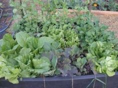 I'd like to have a couple square foot gardens.  Seems easier than my one big one!