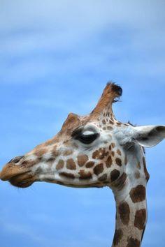 Strike a pose. Giraffes, Strike A Pose, Poses, Photography, Animals, Figure Poses, Fotografie, Animales, Photograph