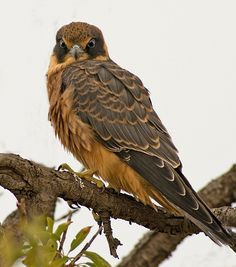 :The Australian Hobby - Falco longipennis, is a falcon found mainly in Australia. It is also a winter migrant to Indonesia and New Guinea.