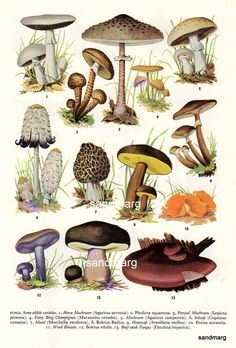 Vintage Edible Mushrooms and Fruit Double Sided Chart by sandmarg, $10.99