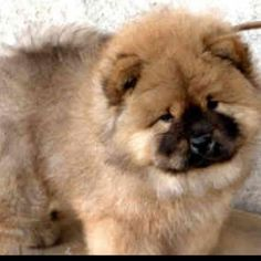 Chow chow - look just like my old pup Pi :) Cute Puppies, Cute Dogs, Dogs And Puppies, Baby Animals, Funny Animals, Cute Animals, Funny Pets, Chow Chow Dogs, Family Dogs