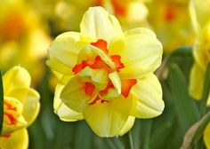 Daffodils grow almost anywhere and are deer resistant. Daffodils multiply quickly and come back every spring!