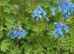 Corydalis Craigton Blue. Grows 30cmx40cm. Grows well in a pot. Partial shade. Flowers late spring, early summer. Fully hardy. Nunneört