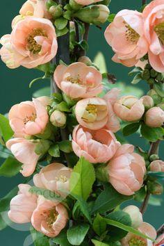 Jardin Jasmin: CHAENOMELES SPECIOSA GEISHA GIRL H: 120-150cm L: 150cm Vigoureux arbuste touffu et épineux à feuilles ovales. Produit, au début du printemps, des groupes de fleurs rose pêche à 5 pétales, suivies de fruits globuleux jaune verdâtre les coings (comestibles si cuits). Utiliser en rocaille et dans les jardins japonais. Il résiste à la sécheresse. Zone5 Qc.