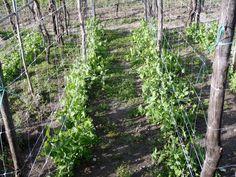 Imagen relacionada Plants, Tomato Plants, Tomatoes, Plant, Planting, Planets
