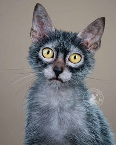 So much variety within the Lykoi breed . -Cat love, best friends the perfect indoor companion. Gato Lykoi, Lykoi Cat, Cute Cats And Kittens, Cool Cats, Kittens Cutest, Beautiful Cats, Animals Beautiful, Cute Animals, Crazy Cat Lady