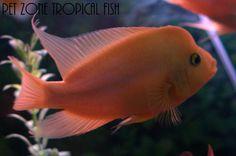 Red Devil Cichlid (Amphilophus labiatus), $14.99 (http://www.petzonesd.com/red-devil-cichlid-amphilophus-labiatus/)