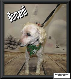 Barcardi! :)  #CockerSpanielPoodle #Cockerpoo Cocker Spaniel Poodle, Cockerpoo, Small Breed, Little Dogs, Dog Grooming, Own Home, Your Dog, Animals, Little Puppies