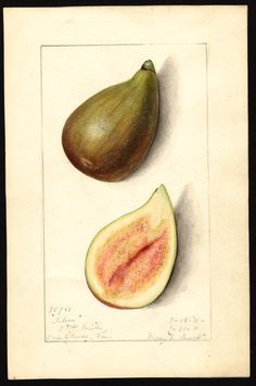 Silver Figs, Watercolor, Mary Daisy Arnold, 1911 (via U.S. Department of Agriculture Pomological Watercolor Collection. Rare and Special Collections, National Agricultural Library, Beltsville, MD 20705)