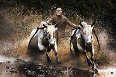 Ox racing http://designyoutrust.com/wp-content/uploads/2013/08/Award-Winning-Photos-8.jpg