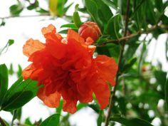 Flor da Pitanga