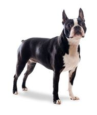 What Is the Difference Between Boston Terriers and French Bulldogs? | Boston Terrier Dogs