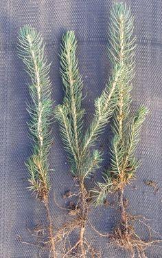 Siewki świerka srebrnego srebrzystego  Picea pungens
