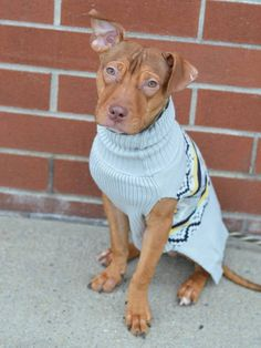 Brooklyn Center FUDGE POP - A1025200 ***RETURNED 01/17/15 - ALLERGIES*** **SAFER: AVERAGE HOME** NEUTERED MALE, BROWN / WHITE, AM PIT BULL TER MIX, 6 mos RETURN - ONHOLDHERE, HOLD FOR ID Reason ALLERGIES Intake condition EXAM REQ Intake Date 01/17/2015, https://www.facebook.com/photo.php?fbid=946938978652315