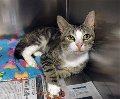 Crossposting to save lives: Bootsie: Adorable tabby boy is running out of time at Concord kill shelter