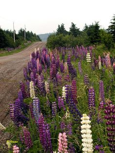Lupins in Cape Breton, Nova Scotia - My new favourite wild flower! They smell… Places To Travel, Places To See, Cap Breton, Cabot Trail, Atlantic Canada, Prince Edward Island, New Brunswick, Beautiful Places, Stunningly Beautiful