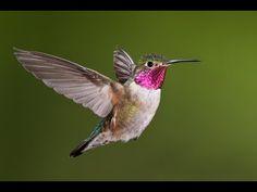 HUMMINGBIRDS: Animals for children. Kids videos. Kindergarten | Preschool learning - YouTube