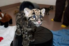 This clouded leopard who has the prettiest eyes ever.