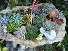 Susan's garden, murphyfrog, succulent, drought resistant, wine barrel, colorful, flower, arrangement, bird bath