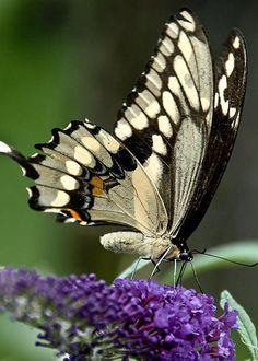 Butterfly Bush Extravaganza by Cheryl Baxter