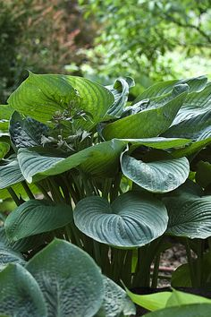 Plants for shade: hosta 'Empress Wu'. An extremely large hosta, with lush, towering leaves that can reach 4 feet in height. To see more hosta varieties, visit our website http://www.gardenersworld.com/plants/search/name/hosta/
